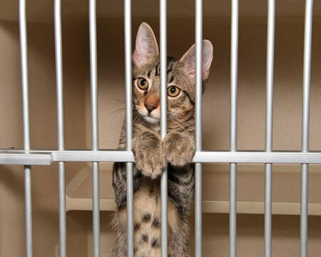 Adorable tabby kitten in a shelter kennel looking out from behind the bars.
