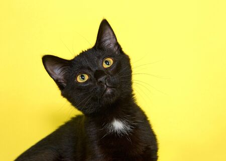 Portrait of an adorable black kitten with tuff of white fur on the neck head tilted upwards and turned to side with curiosity. Yellow background. Reklamní fotografie