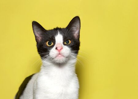 Portrait of an adorable black and white kitten looking directly at viewer. Mustard yellow background. Reklamní fotografie