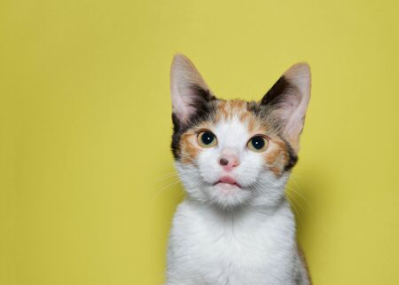 Portrait of an adorable calico kitten with tongue sticking out looking directly at viewer. Mustard yellow background.
