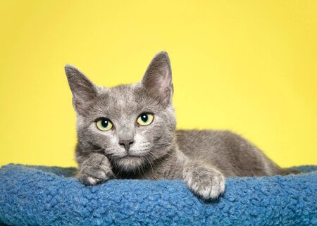 Adorable grey kitten with yellow green eyes laying in a blue bed, paws over side looking longingly at viewer. Mustard yellow background. Reklamní fotografie