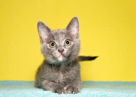 Adorable tiny grey and white kitten laying on light green blanket with mustard yellow background, looking directly at viewer with attentive expression. Reklamní fotografie