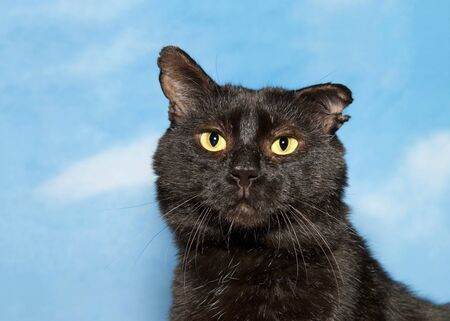 Portrait of one adorable huggable scruffy black cat looking directly at viewer with bright yellow eyes. Blue background sky with clouds. Reklamní fotografie