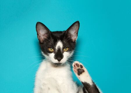 Black and white kitten looking directly at viewer with back paw raised, on teal background with copy space. Reklamní fotografie