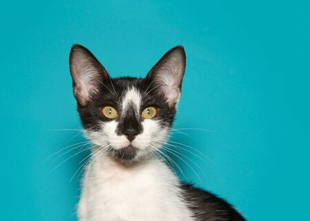 Black and white kitten with bright yellow green eyes looking directly at viewer on teal background with copy space. Reklamní fotografie