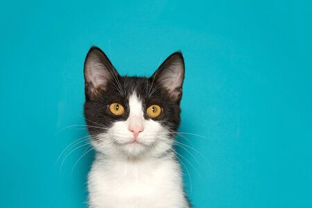 Black and white kitten with bright yellow eyes looking directly at viewer on teal background with copy space. Reklamní fotografie