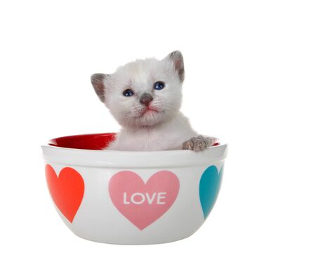 Adorable baby siamese kitten with divergent strabismus, or wall eyed, sitting in a valentines themed bowl looking directly towards viewer, isolated on white. Paw on side of bowl. Animal antics.
