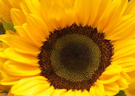 Top view flat lay close up of one giant sunflower flower.