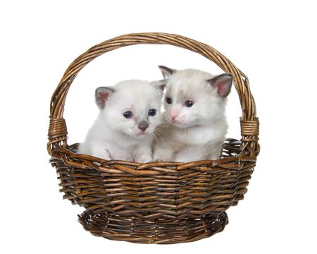 Two siamese kittens sitting in a small wicker basket isolated on white. Reklamní fotografie