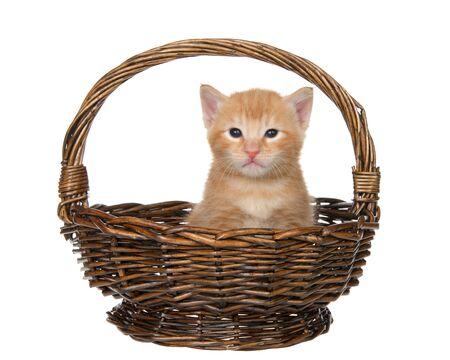Orange tabby baby kitten sitting in a brown wicker basket isolated on white. Fun animal antics.