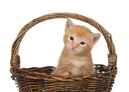 Close up on an Orange tabby baby kitten sitting in a brown wicker basket isolated on white. Fun animal antics.