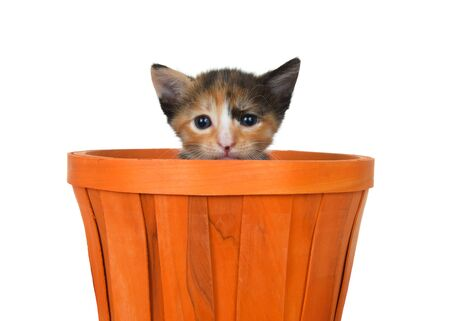 Adorable tortoiseshell kitten sitting in an orange halloween autumn basket peaking over side of basket at viewer. Isolated on white. Animal antics.