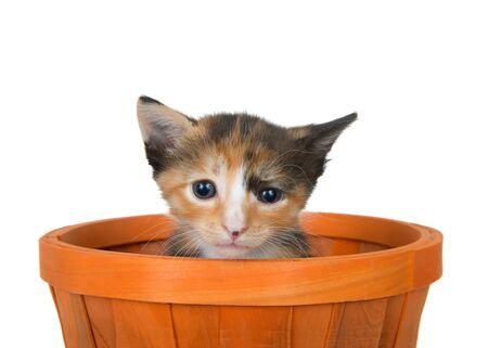 Adorable tortoiseshell kitten sitting in an orange halloween autumn basket looking up at viewer. Isolated on white. Animal antics.
