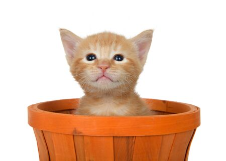 Adorable orange ginger tabby kitten sitting in an orange halloween autumn basket looking slightly up at viewer. Isolated on white. Animal antics.