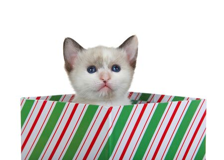 Siamese mix kitten peaking out of a green red and white striped Christmas present box looking slightly up and slightly to viewers right. Isolated on white. Animal antics.