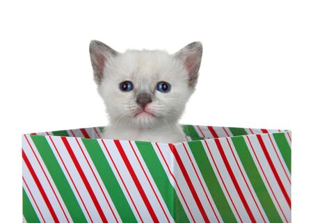 Siamese mix kitten peaking out of a green red and white striped Christmas present box looking directly at viewer. Isolated on white. Animal antics.