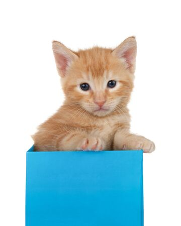 Adorable tiny orange ginger tabby kitten peaking out of a bright blue present box isolated on white background. Fun comical animal antics.