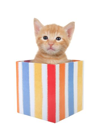Adorable tiny orange ginger tabby kitten peaking out of a colorful striped present box isolated on white background. Fun comical animal antics.
