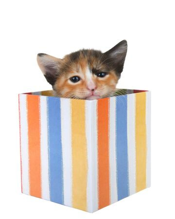 Adorable tiny tortie kitten peaking out of a colorful striped present box isolated on white background. Fun comical animal antics.