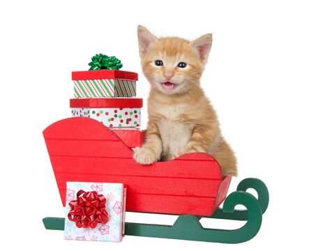 Adorable orange ginger tabby kitten sitting in red and green Christmas sleigh with miniature presents looking at viewer meowing. Isolated on white. Animal antics.