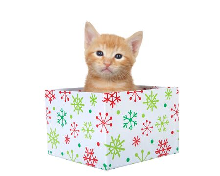 Adorable orange ginger tabby kitten sitting in an orange Christmas present box looking at viewer. Isolated on white. Animal antics.