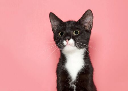 Portrait of an adorable black and white tuxedo kitten with wide eye large pupils looking at viewer, pink background with copy space.