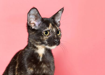 Profile portrait of an adorable tortoiseshell kitten looking to viewers right with large eye pupils, pink background with copy space.