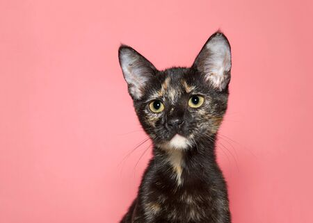 Profile portrait of an adorable tortoiseshell kitten looking towards viewer with large eye pupils, pink background with copy space.