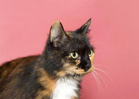 Profile of an adorable calico cat looking to viewers right with dark pink background copy space. Animal antics.