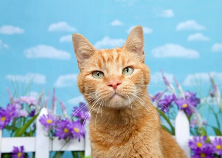 Adorable orange ginger tabby cat looking directly at viewer with skeptical expression, white picket fence with purple flowers in background. Blue background sky with clouds.