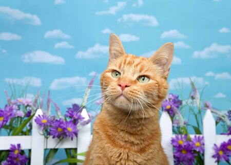 Adorable orange ginger tabby cat looking up to viewers left with curious expression, white picket fence with purple flowers in background. Blue background sky with clouds.