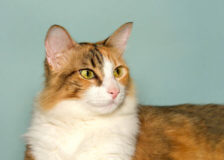 Close up profile portrait of a calico cat looking to viewers right with light blue green background.  Banco de Imagens