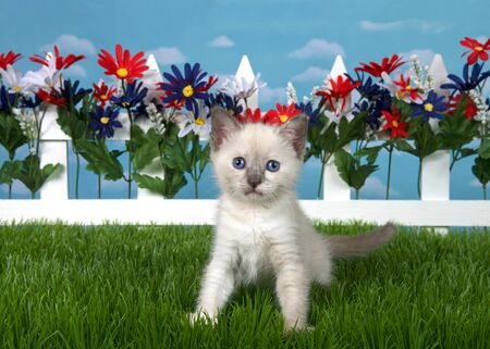 Portrait of a tiny siamese kitten sitting in green grass looking directly at viewer. Red, white, blue flowers on white picket fence in background, blue cloudy sky with copy space.