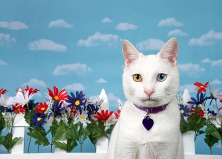 Portrait of a white cat with heterochromia looking directly at viewer, wearing a purple collar with blank name tag. Red, white, blue flowers on white picket fence in background, blue cloudy sky.
