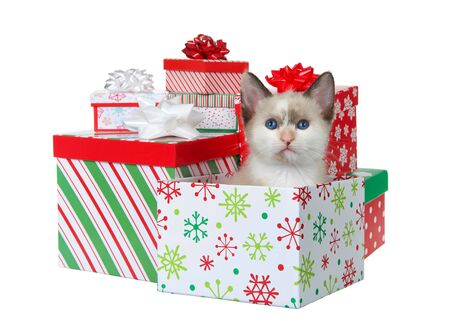 Adorable Siamese mix kitten sitting in a colorful Christmas present box surrounded by presents looking at viewer. Isolated on white. Animal antics.