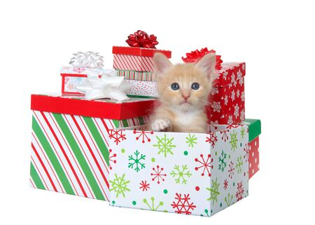 Adorable orange and white tabby kitten sitting in a colorful Christmas present box surrounded by presents looking at viewer. Isolated on white. Animal antics.