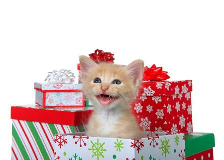 Adorable orange and white tabby kitten sitting in a colorful Christmas present box surrounded by presents meowing looking to viewer left. Isolated on white. Animal antics.