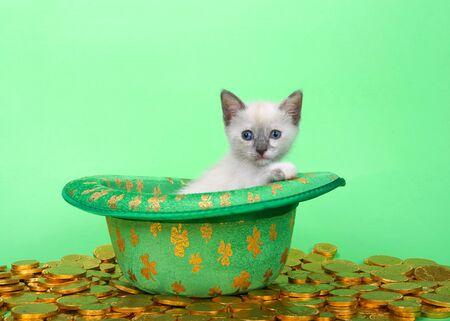 Siamese kitten sitting in a green leprechaun hat with silver clovers, surrounded by gold coins on a green background. Saint Patricks day animal antics