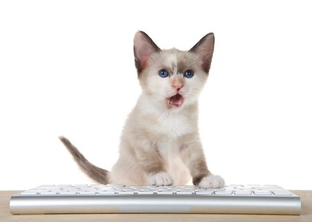 Adorable small Siamese mix kitten sitting at computer keyboard looking at viewer, isolated on white background, mouth open as if talking. Entertainment, technology, gaming, education themes