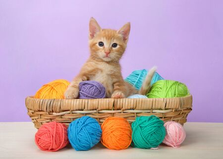 Adorable orange ginger tabby baby kitten sitting in a basket of yarn on wood floor with purple background looking at viewer. Comical animal antics. Banco de Imagens
