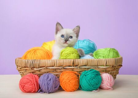 Adorable tiny siamese baby kitten with blue eyes sitting in a basket of yarn on wood floor with purple background looking at viewer. Comical animal antics.