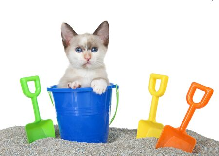 Cute Siamese mix kitten popping out of a toy sand bucket on a kitty litter sand beach with colorful shovels, isolated on white. Fun animal antics, summer theme Banco de Imagens