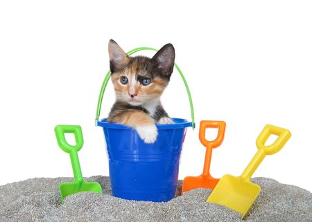 Cute small Calico kitten popping out of a toy sand bucket on a kitty litter sand beach with colorful shovels, isolated on white. Fun animal antics, summer theme
