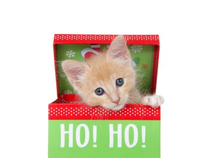 Adorable orange buff tabby kitten peaking out of a colorful christmas present box isolated on white. Cute animal antics.