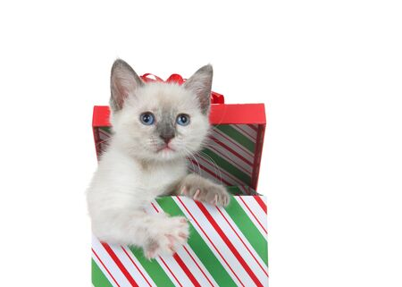 Adorable Siamese kitten peaking out of a colorful Christmas present box isolated on white. Cute animal antics.