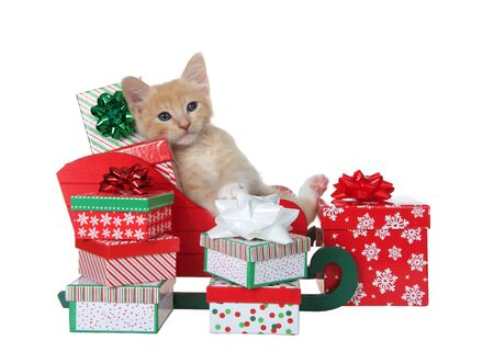 Adorable orange buff tabby kitten laying back in a sleigh full of colorful christmas presents isolated on white. Fun animal antics.