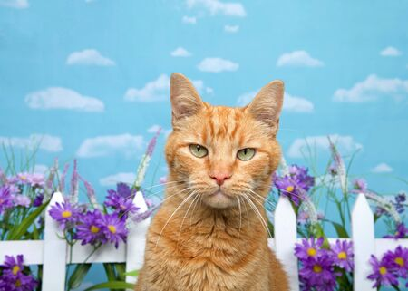 Adorable orange ginger tabby cat looking directly at viewer with skeptical glaring expression, white picket fence with purple flowers in background. Blue background sky with clouds.