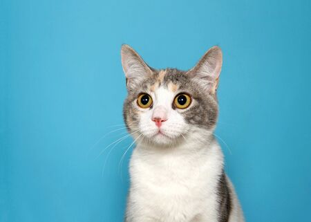 Portrait of an adorable calico kitten looking slightly to viewers left with curious expression and large eyes. Blue background with copy space.