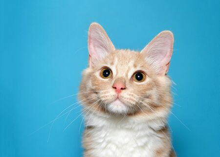 Portrait of an orange and white tabby kitten looking slightly up to viewers left with curious expression. Blue background with copy space.