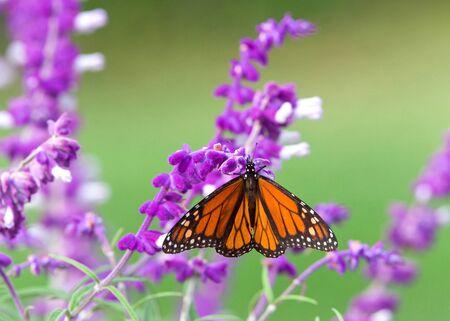 Primo piano di una farfalla monarca che beve nettare da fiori di salvia messicana viola, profondità di campo ridotta.
